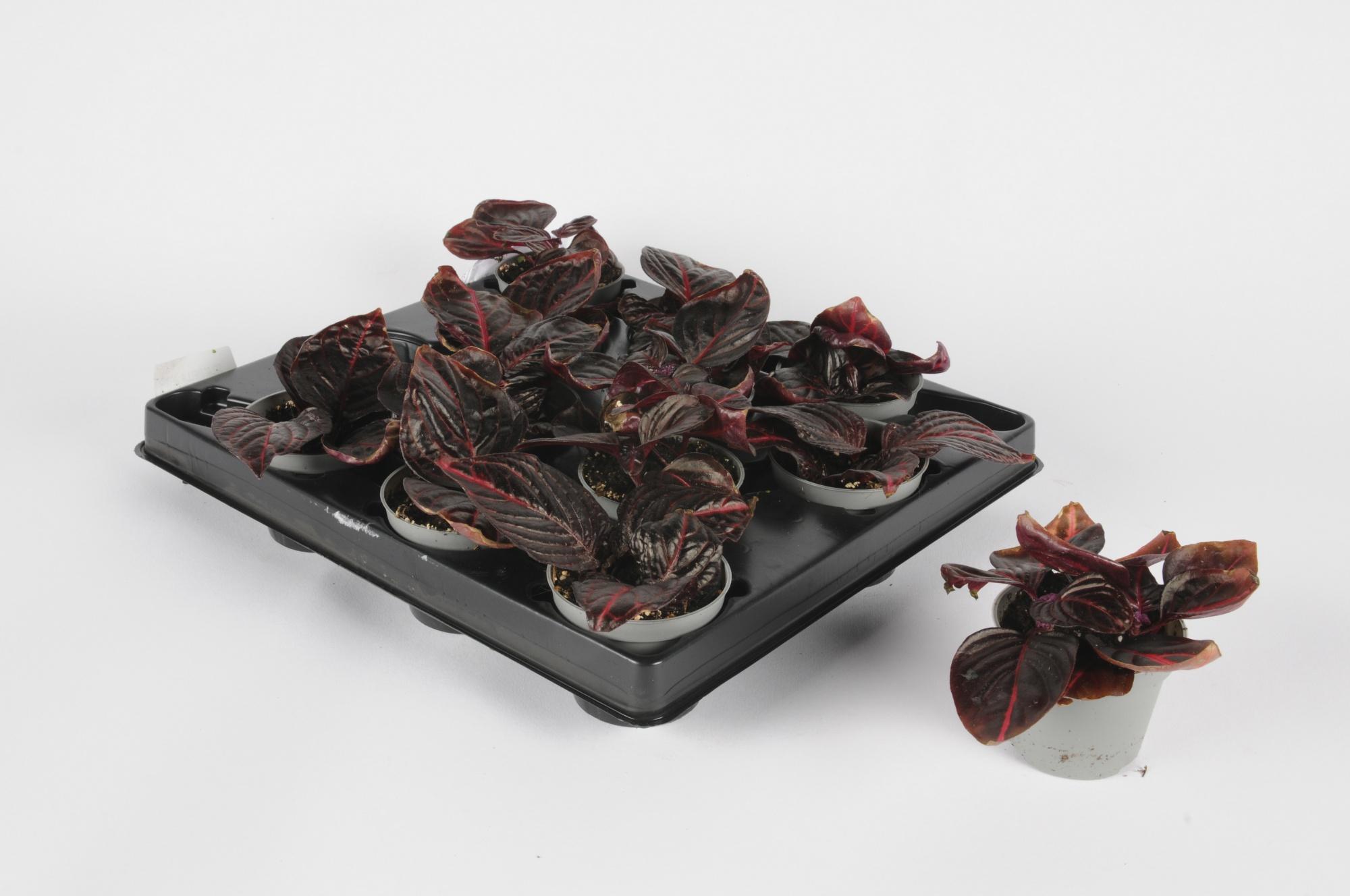 Iresine Herbstii 16cm x D6