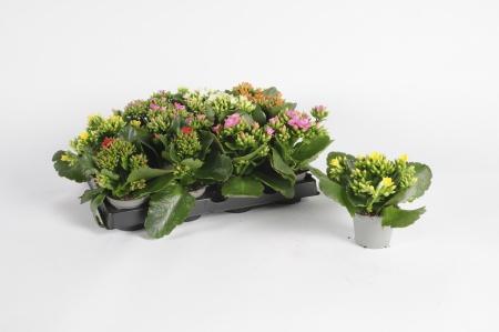Kalanchoe Moreflowers 15cm x D6