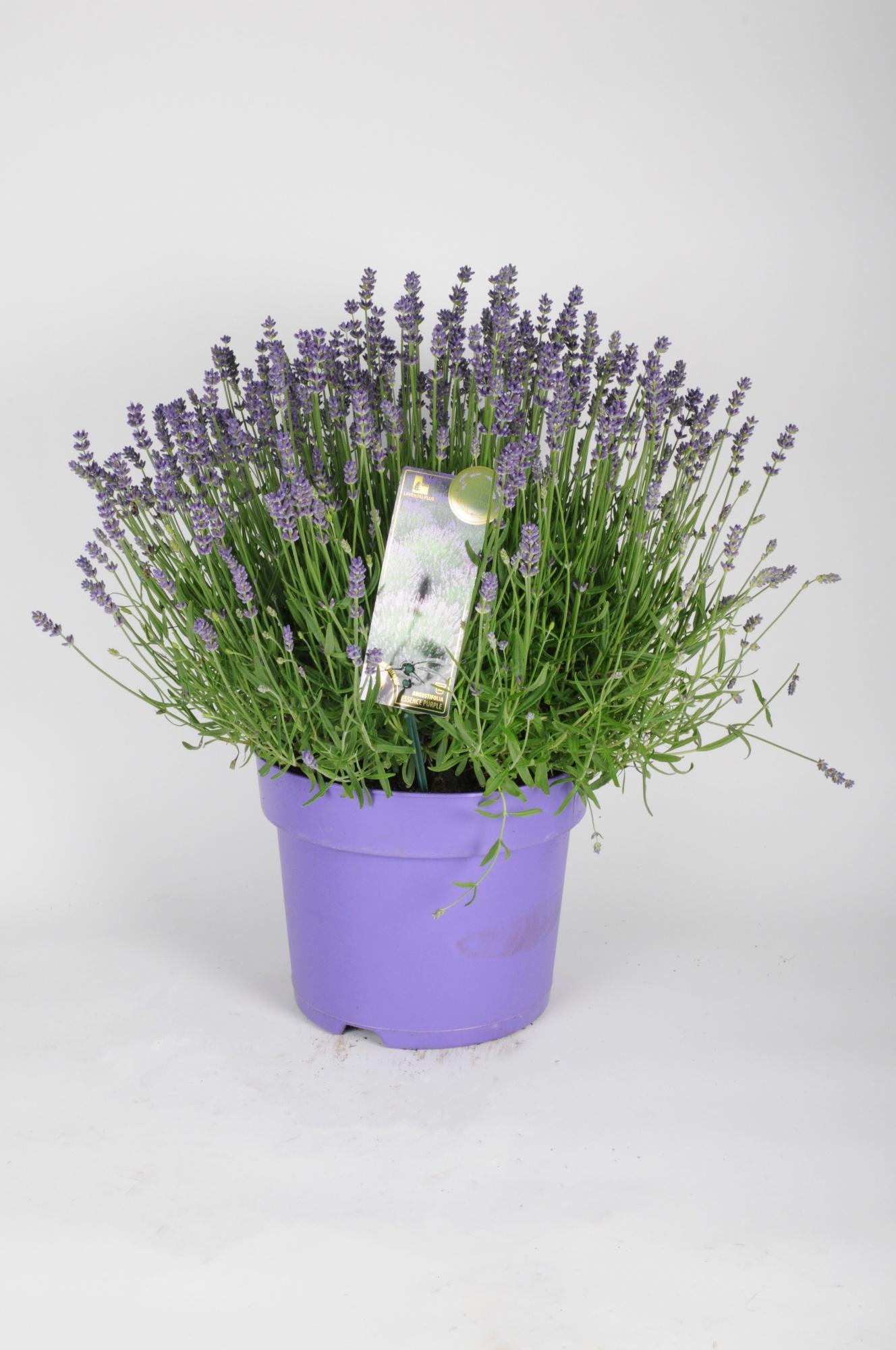 Lavandula Essence Purple 50cm x D26