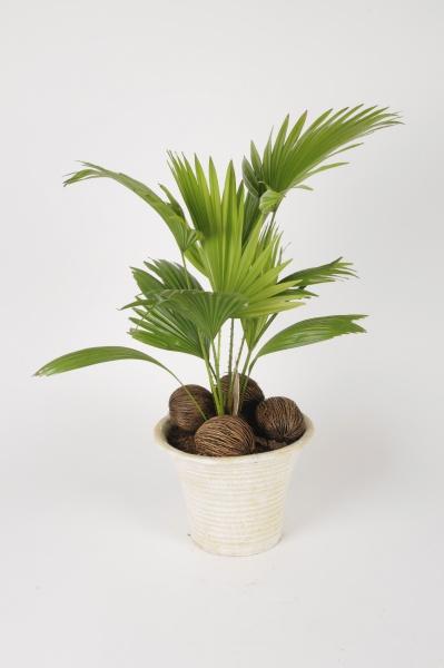 Livistona Rotundifolia 60cm x D23