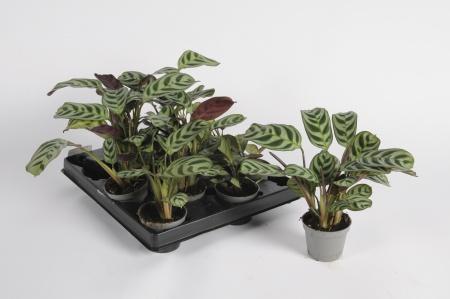 Maranta Leuconeura 20cm x D6