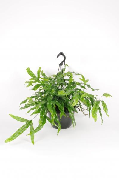 Microsorum Diversifolia Suspension 50cm x D20