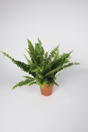 Nephrolepis Green Lady 15cm x D12
