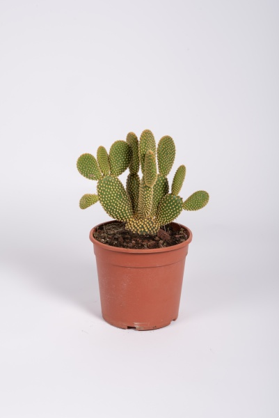 Opuntia Microdasys Albispina 33cm x D17