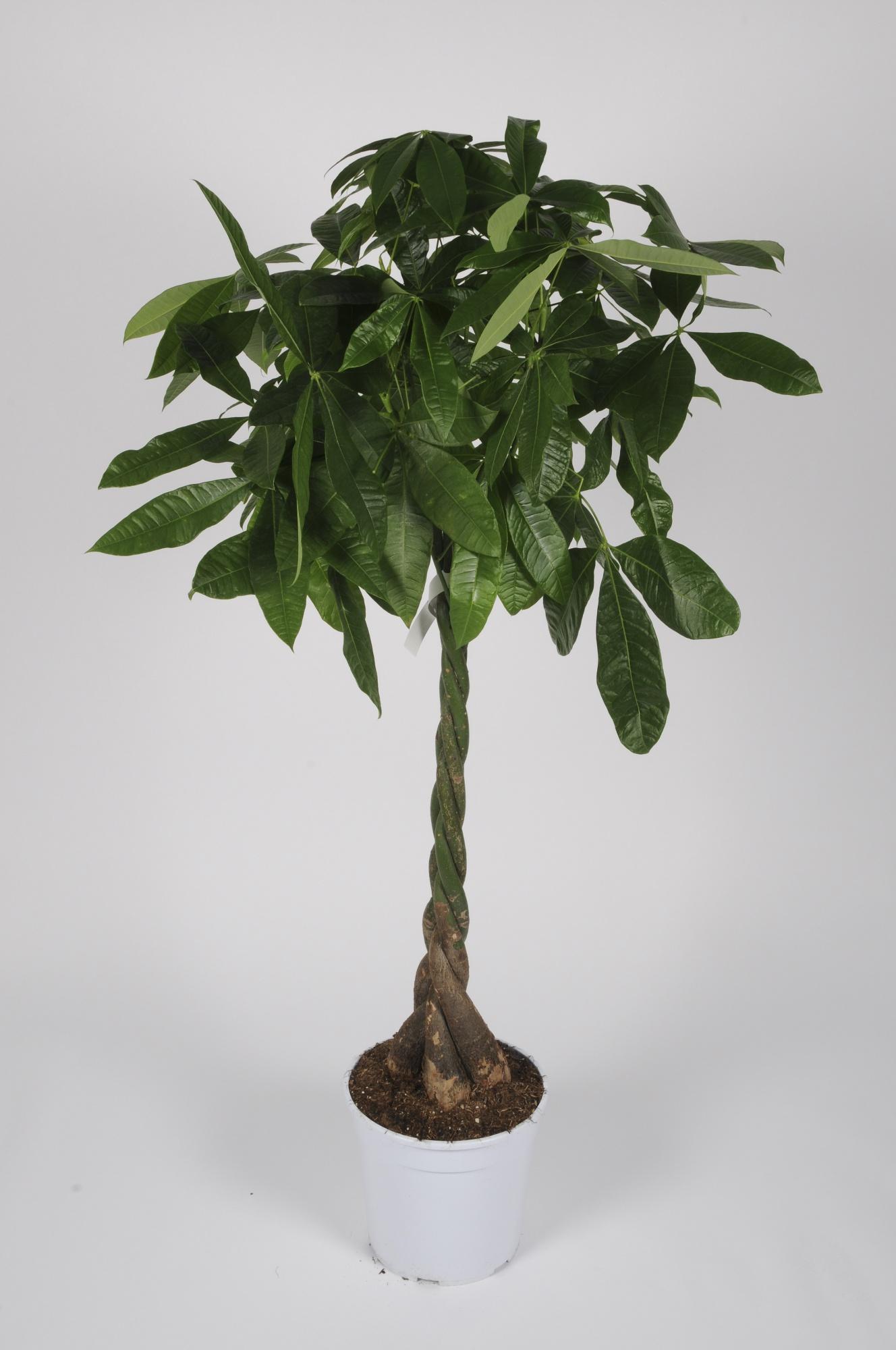 Pachira Aquatica 150cm x D30