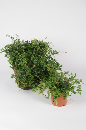 Pellea Rotundifolia 22cm x D13