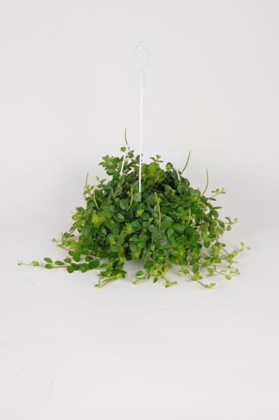 Pépéromia Rotundifolia Suspension 40cm x D14