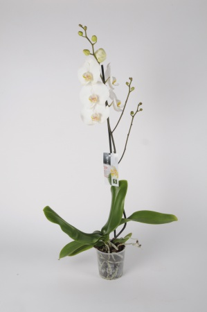Phalaenopsis 1 Tige White World 70cm x D12