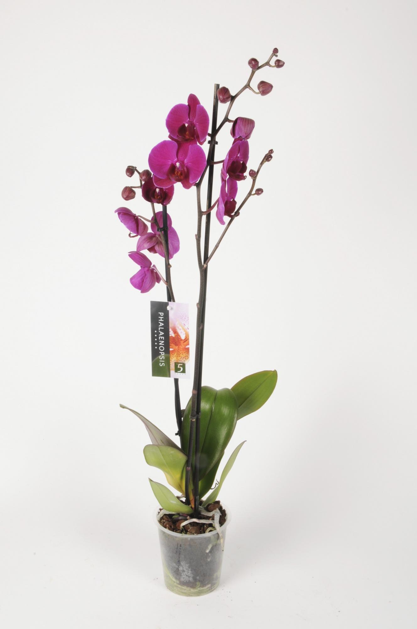 Phalaenopsis 2 Tiges 5 Étoiles 75cm x D12