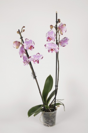 Phalaenopsis 2 Tiges Magic Art 70cm x D12
