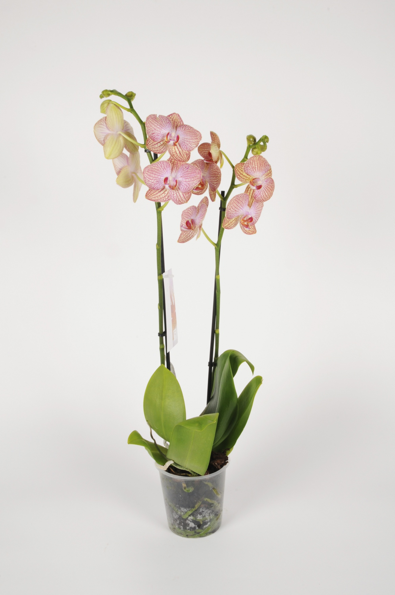 Phalaenopsis 2 Tiges Orange 70cm x D12