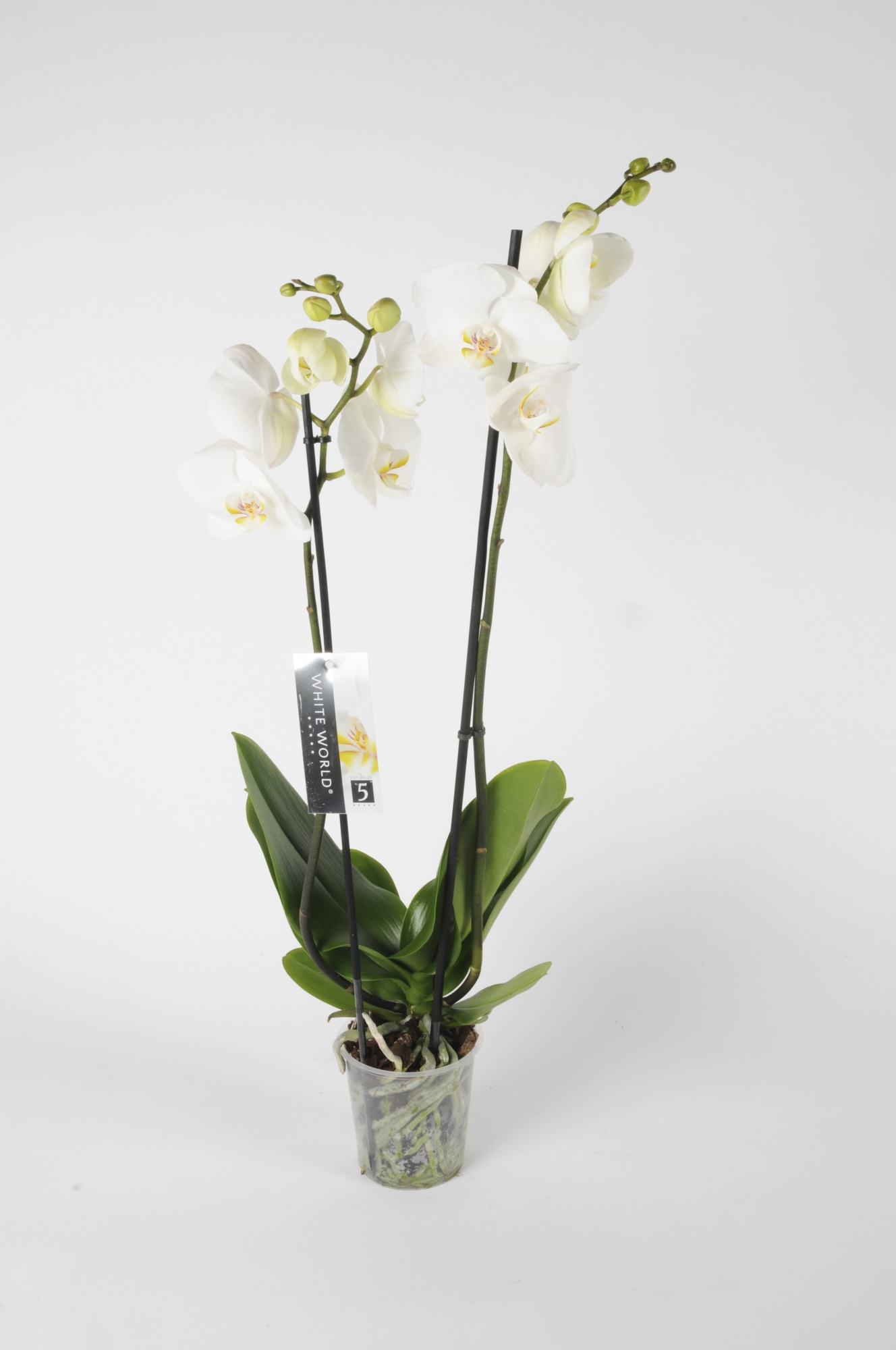 Phalaenopsis 2 Tiges White World 70cm x D12