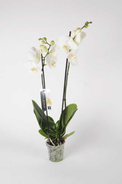 Phalaenopsis 2 Tiges White World 70cm x D12