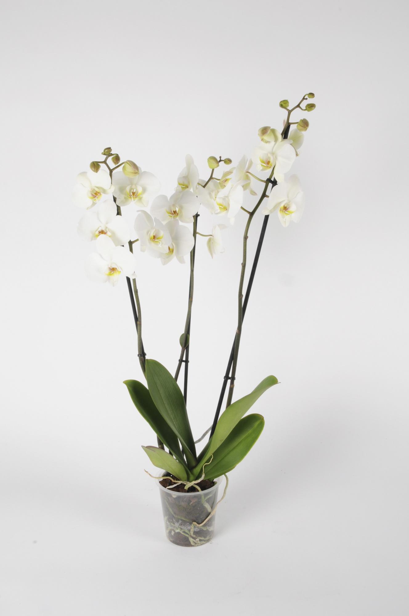 Phalaenopsis 3 Tiges White World 70cm x D12