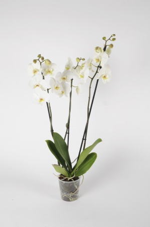 Phalaenopsis 3 Tiges White World 70cm x D12