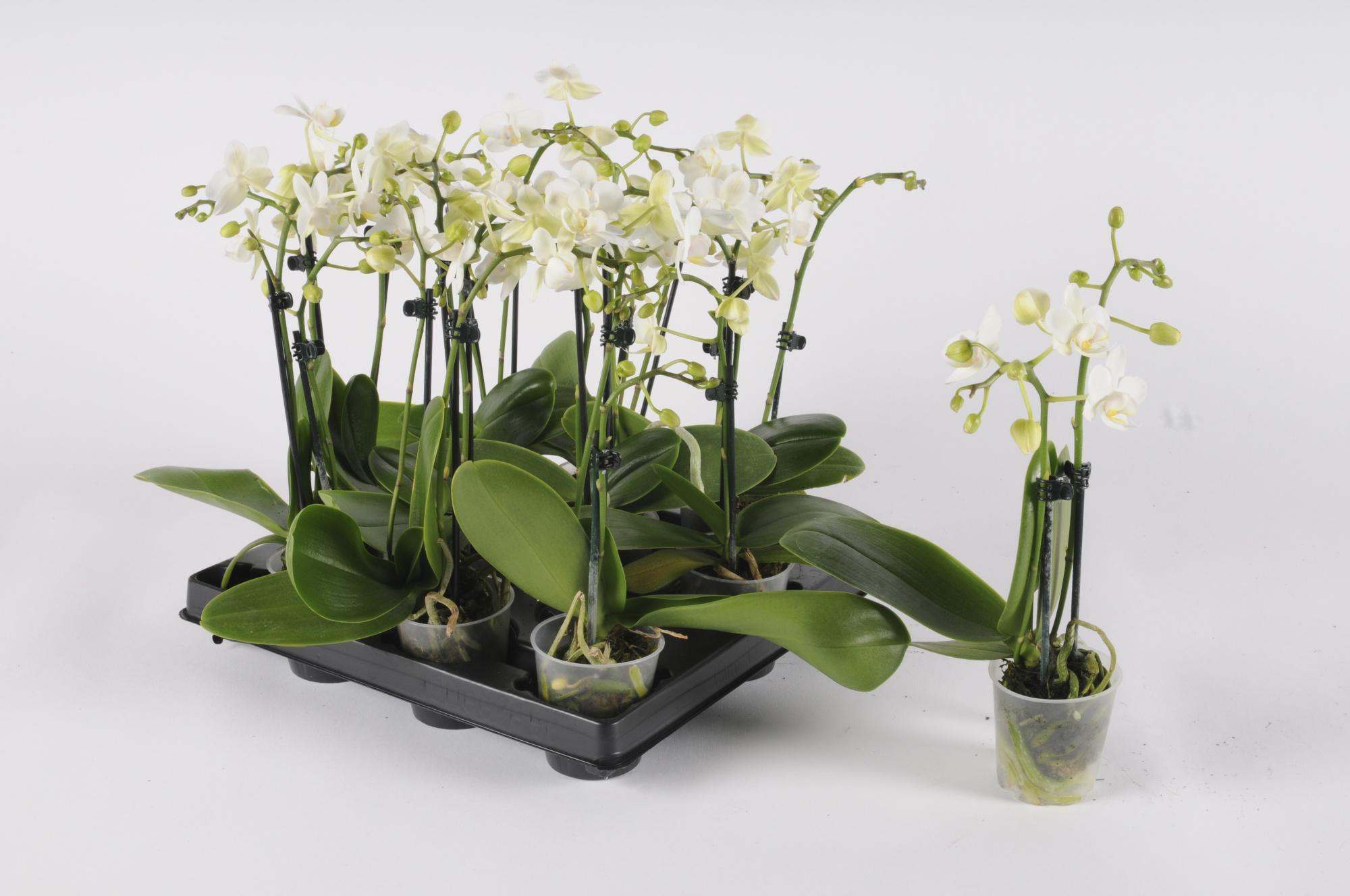 Phalaenopsis 30cm x D6