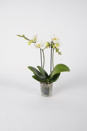 Phalaenopsis Kolibri 40cm x D9