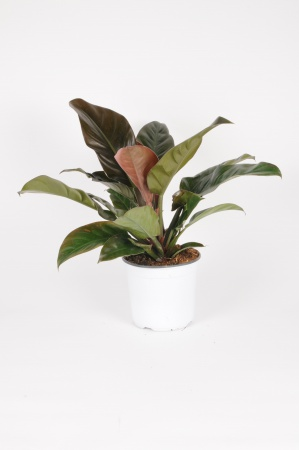 Philodendron Imperial 60cm x D19