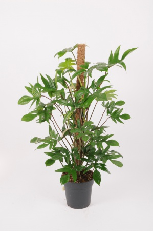 Philodendron Laciniatum 100cm x D21