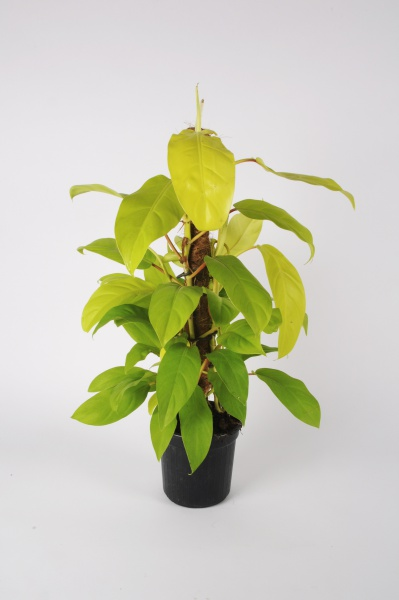 Philodendron Malay Gold 65cm x D16