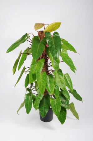 Philodendron Médisa Tuteur 120cm x D24