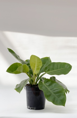 Philodendron Moonlight 55cm x D21