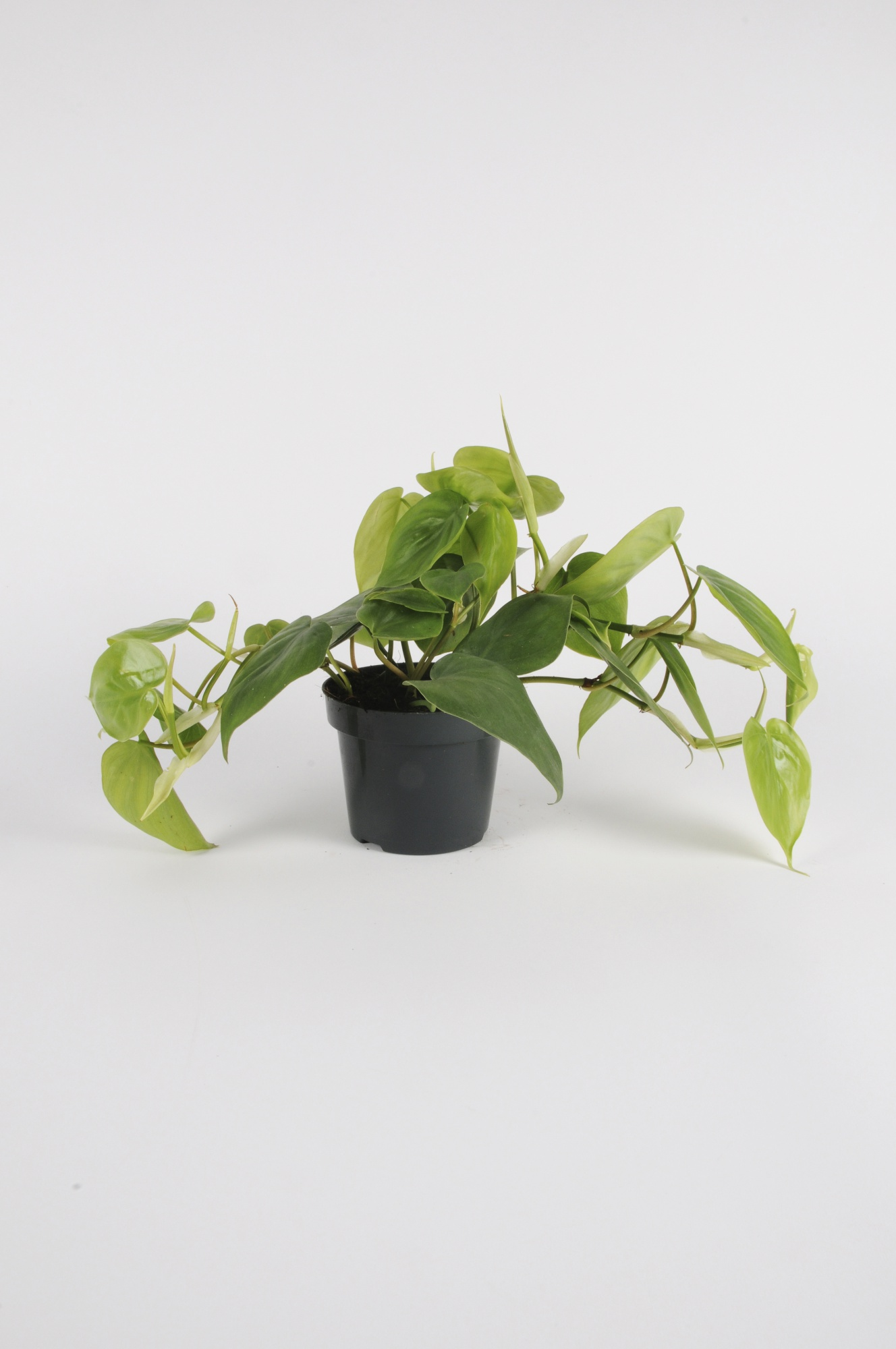 PHILODENDRON Scadens 15cm-D12
