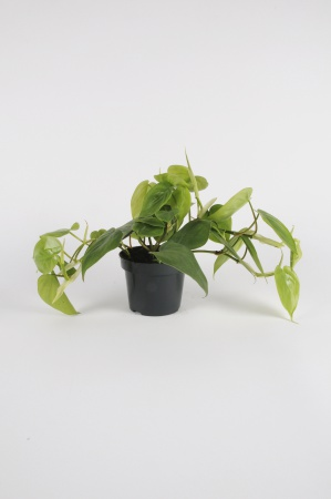 PHILODENDRON Scadens 40cm-D15