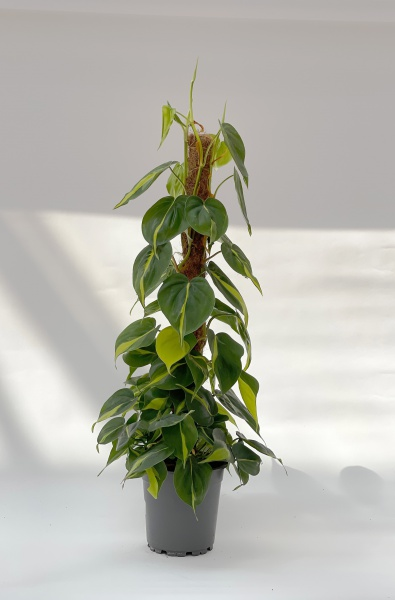 Philodendron Scandens Brasil 100cm x D17