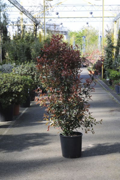 Photinia Fraseri Carré Rouge 130cm x 18L