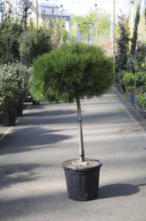 Pinus Nigra Marie Bregeon Tige 120cm x 30L