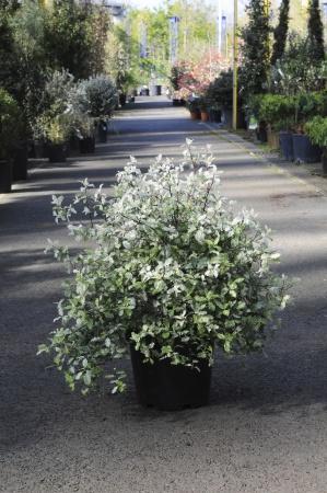 Pittosporum Tenuifolium Irene Patterson 50cm x 7,5L