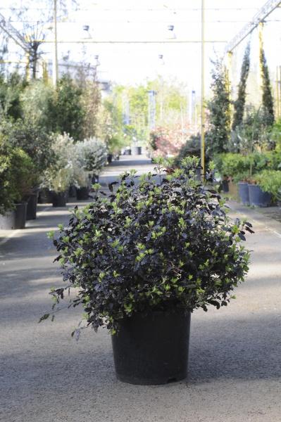 Pittosporum Tenuifolium Tom Thumb 60cm x 15L