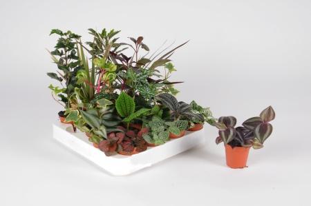 Plantes à Bonbonnes 20cm x D5