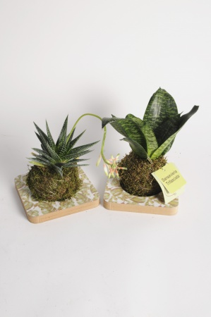 Plantes Succulentes Plateau Kokedama 35cm x D15