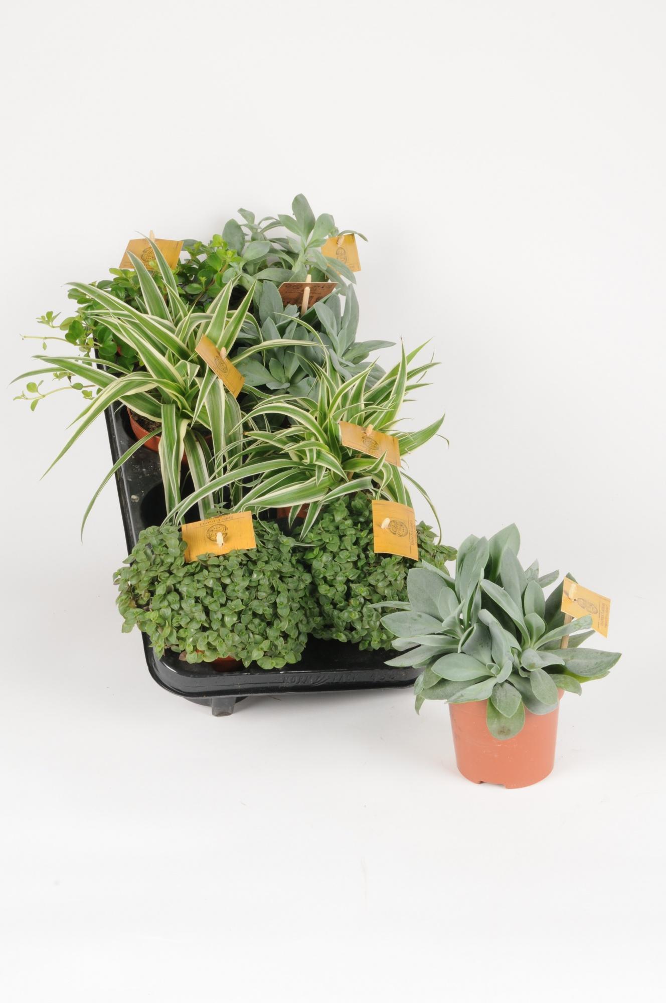 Plantes Variées Mixtray 22cm x D10