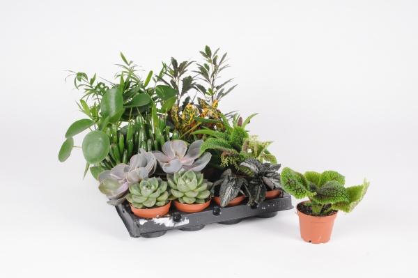 Plantes Vertes Mixte 20cm x D5