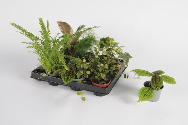 Plantes Vertes mixtes cm x D6