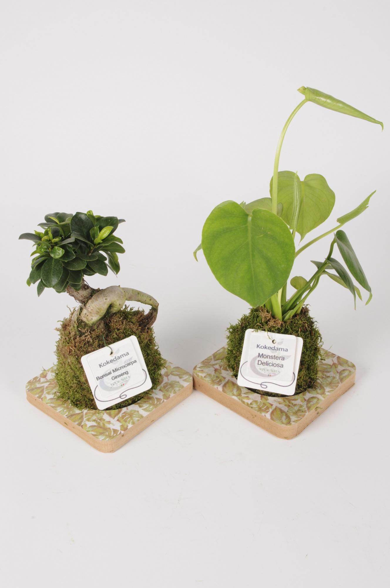 Plantes Vertes Plateau Kokedama 45cm x D15