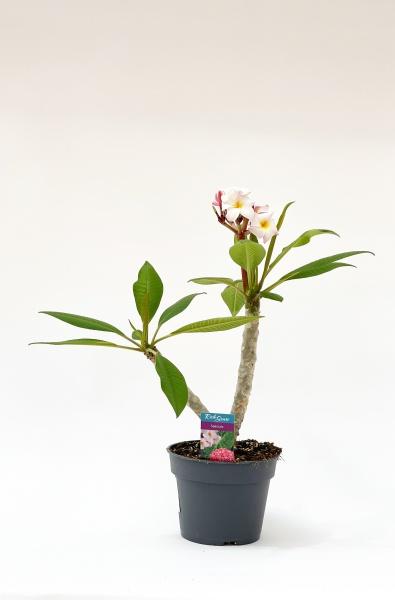 Plumeria Alba 50cm xD17