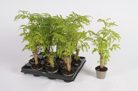 Polyscias Filicifolia 26cm x D6