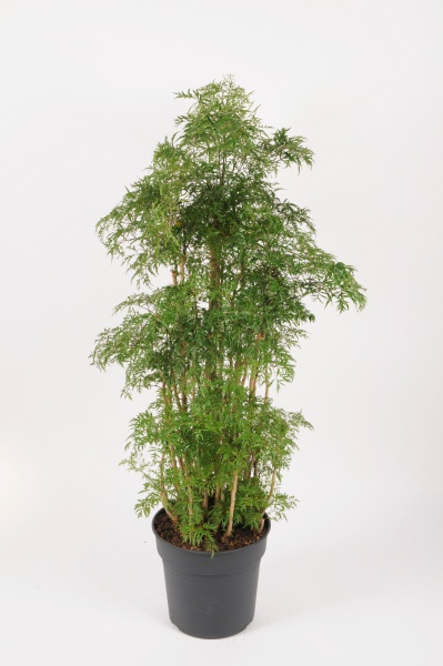 Polyscias Fruticosa 130cm x D31