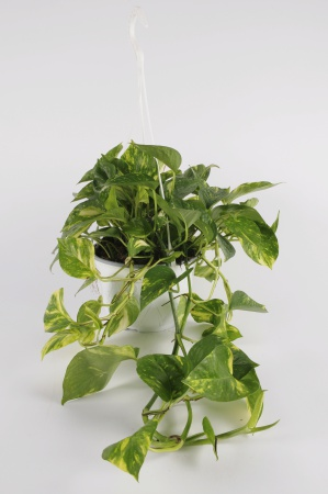 POTHOS Scindapus suspension 30cm-D16