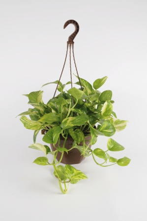 POTHOS Scindapus suspension 40cm-D23