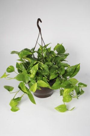 Pothos Scindapus suspension 45cm x D30