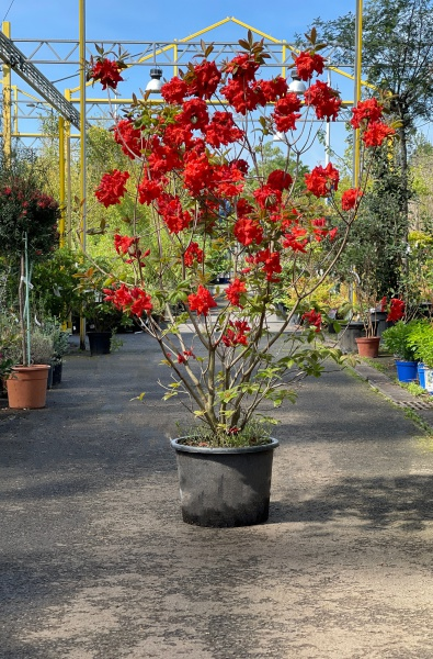 Rhododendron Luteum Royal Command 140cm x 25L