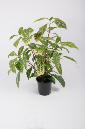 Sanchezia Speciosa 80cm x D19