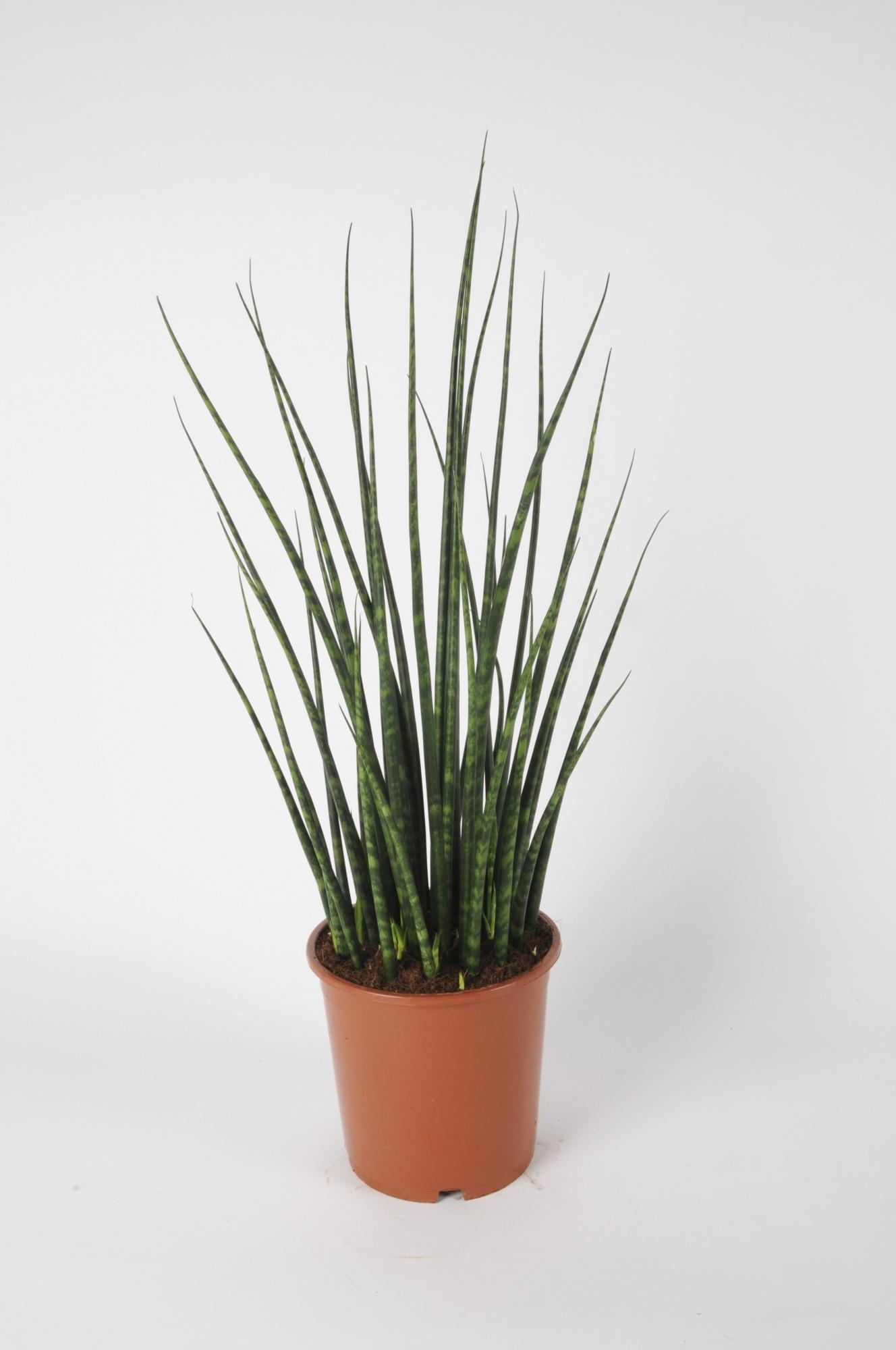 Sanseveiria Cylindrica 70cm x D19