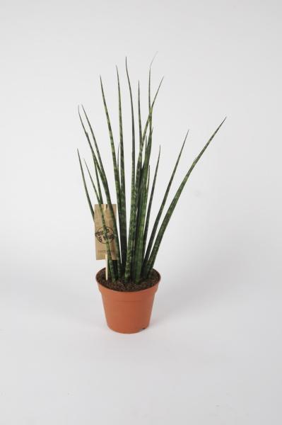 Sanseveiria Ternwood 55cm x D14