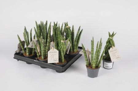 Sansevieria Trifasciata 20cm x D6